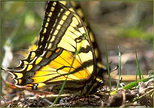 Tiger Swallwotail  Butterfly
